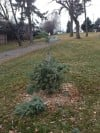 A small evergreen tree