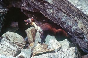 Another lawsuit filed seeking protections for wolverines
