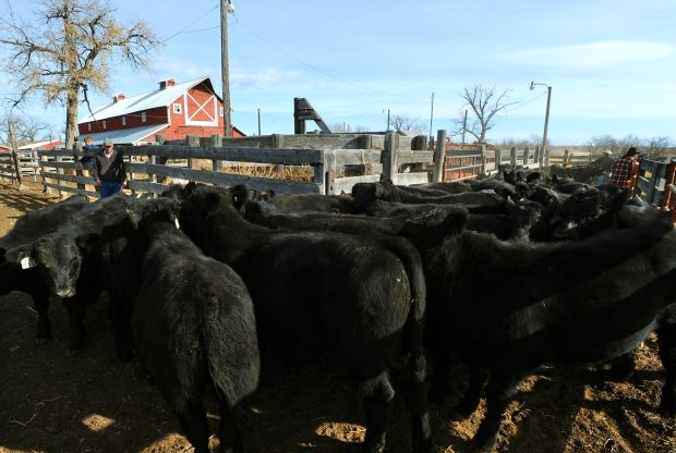 cattle market prices montana