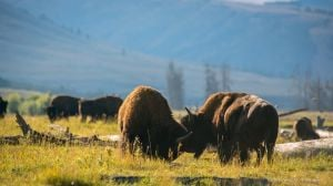 MSU student tackles thorny issue of Yellowstone buffalo