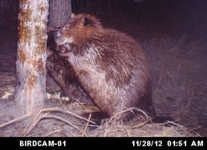 Beavers once parachuted into Idaho's backcountry