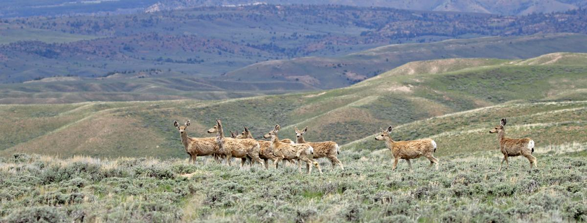 Game and fish to monitor large casper deer herd wyoming for Game and fish wy