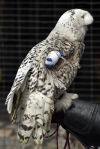 Teike the snowy owl