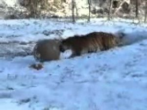 ZooMontana tigers in the snow