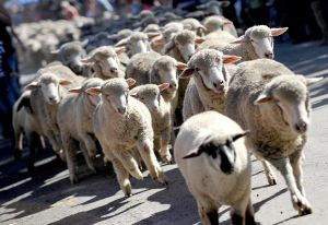 """26th Annual """"Running of the Sheep"""""""