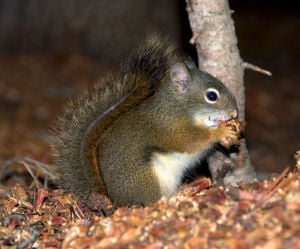 Study: Red squirrels may be changing how Rocky Mountain trees respond to fire