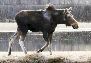 Moose populations down as winter ticks cull herds