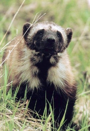 Wolverine trapping challenged in Montana court