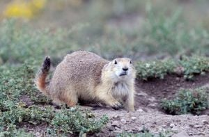 Judge orders reconsideration of prairie dog ruling