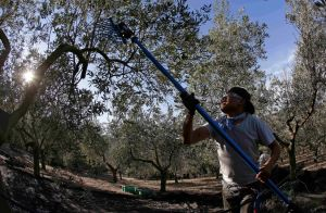 In California wine country, an olive oil trail