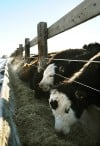 Cows feed from bunks