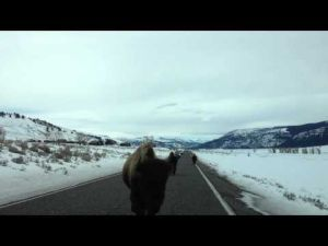 Yellowstone bison head butts car