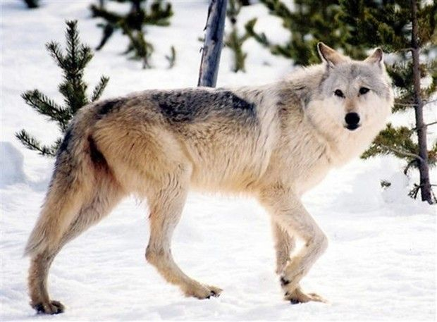 Wolf expansion