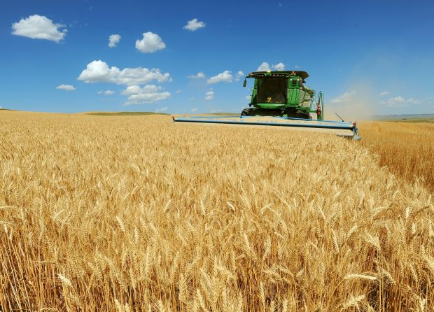 Montana wheat nears harvest in good shape, but with declining prices