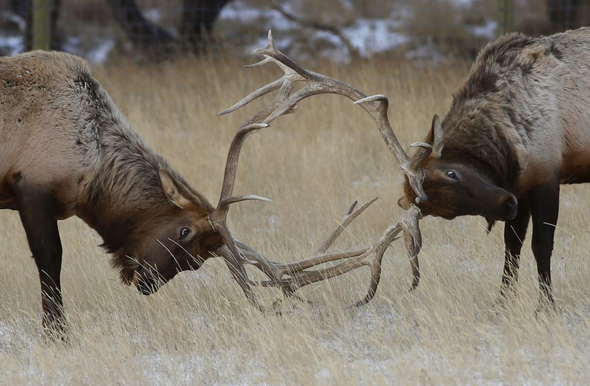 Game and fish faces more cuts license fees could increase for Wyoming game and fish license