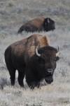 American Prairie wildlife refuge