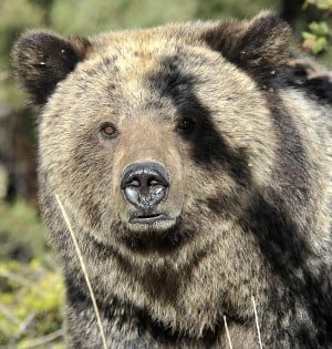 As grizzly bear numbers climb, the animals are expanding to the fringes of available habitat from strongholds like Yellowstone National Park, where this one was photographed.  Read more: http://billingsgazette.com/lifestyles/recreation/pryor-mountains-provide-possible-habitat/article_51d5151b-4619-5a8a-adf2-c36ed373712b.html#ixzz1gRZMiMNg