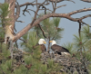 Eagle eyes: Bitterroot Audubon looking for volunteers to check nest sites