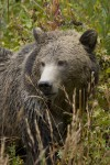 Yellowstone group recommends whitebark pine study in pursuit of delisting grizzlies