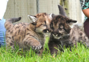 Mountain lion kittens rescued from Bitterroot wildfire heading to Ohio zoo
