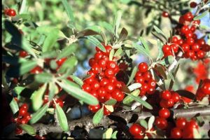 Wyoming outdoors: Time is ripe to pick buffaloberries
