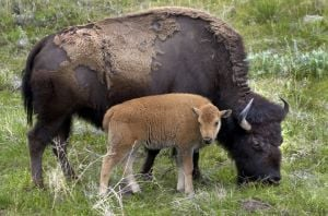 Tribes from U.S., Canada sign bison treaty