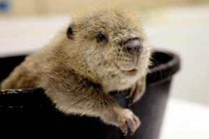 Busy little beaver makes media debut at ZooMontana