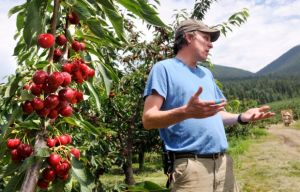 Flathead cherry harvest to top 2M pounds, but part of crop culled