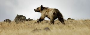 Conflicts between people, Yellowstone grizzlies drop in 2013