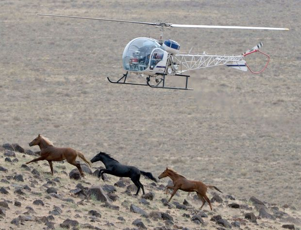 Helicopter Horse Roundup Blocks Wild Horse Roundup