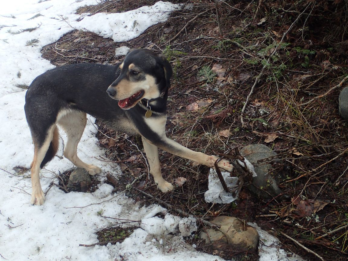 Dogs Being Caught In Idaho S Wolf Traps Outdoors