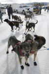 Laura Daugereau and her sled dogs