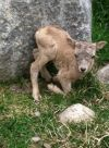 Newborn bighorn sheep at ZooMontana