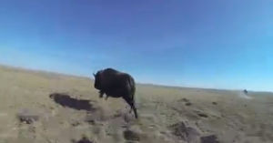 Feature video: Herding the bison on the Fort Belknap Reservation