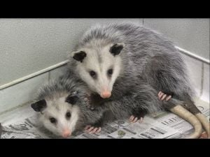 Oh! Possums
