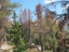 Judge won't intervene to protect whitebark pine