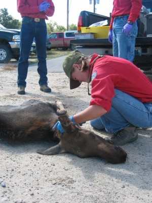 Wyoming game and fish testing moose to find reason for for Wyo game fish