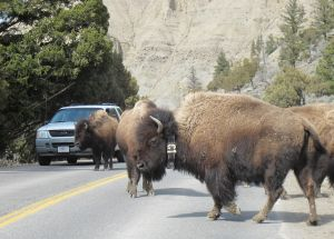 Yellowstone roads to close to cars on Nov. 3