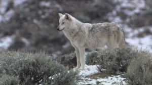 Weekly Webb: The big hunt -- filming the wolves of Yellowstone
