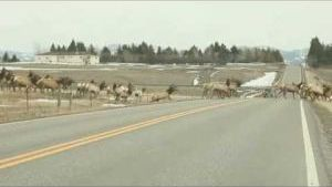 Elk herd video, with 1 straggler, goes viral