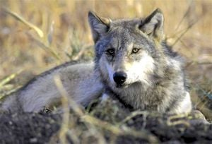 Wyoming governor touts wolf reintroduction success