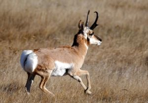 Guest opinion: Montanans can be thankful for bounty of wildlife