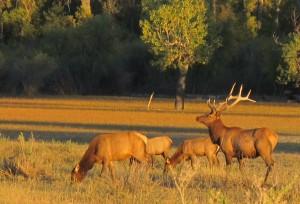 Elk-viewing tour to CMR refuge offered Sept. 30