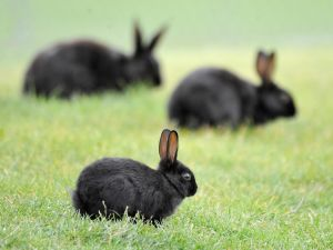 Police looking for youth who darted rabbit