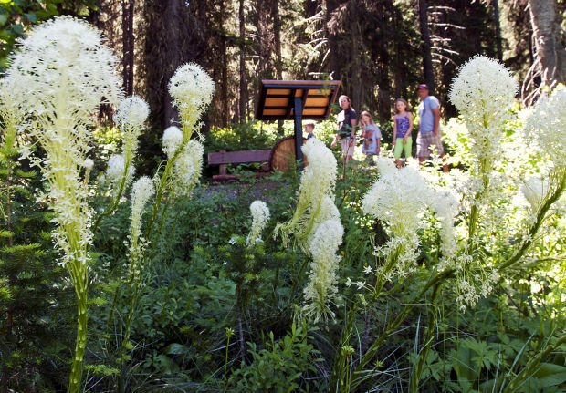Bountiful beargrass bloom underway this year in Montana