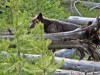Silver Gate resident witnesses wolves bringing down elk at back door