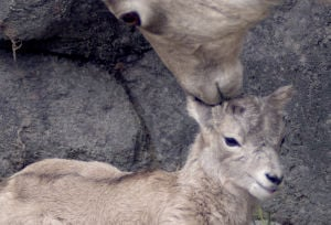 Baby bighorn sheep born at ZooMontana