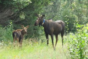 Researchers tracking 25 collared moose in NE Washington