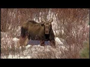 FWP posts moose video