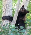 Black bear found in tree on West End of Billings